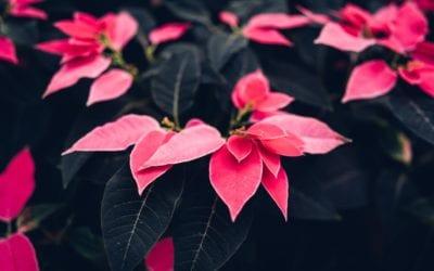 Poinsettia Memorials & Honorariums